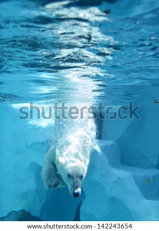 polar bear swimming diving in water at zoo - stock photo