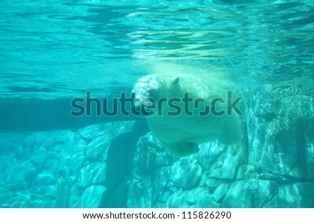 Polar bear swimming under water (Ursus maritimus). Closeup shot - stock photo