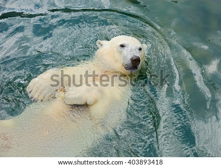 Polar bear swims in the water The polar bear is a typical inhabitant of the Arctic. The polar bear is the largest of all predator. - stock photo