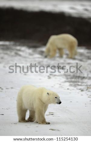 Polar bear. The polar bear goes on snow . - stock photo