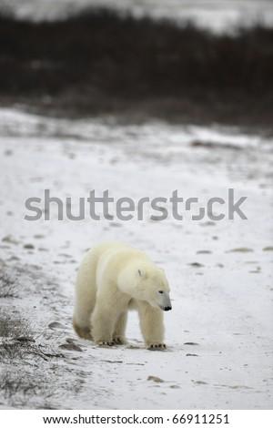 Polar bear. The polar bear goes on snow blindly. - stock photo