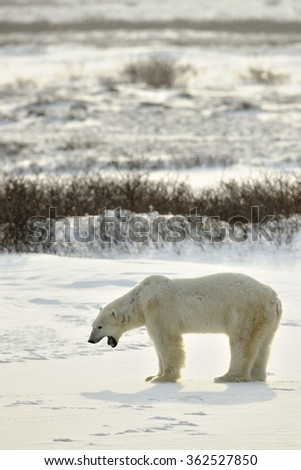 Polar bear. The polar bear on snow tundra - stock photo