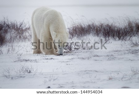 Polar bear thin after hibernation walks on tundra - stock photo