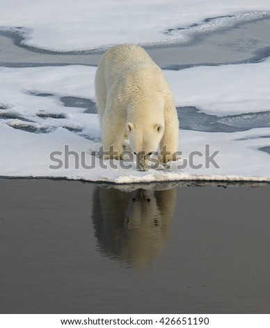 Polar bear, ursus maritimus, at the edge of an ice floe, in the Arctic Ocean north of Svalbard. - stock photo