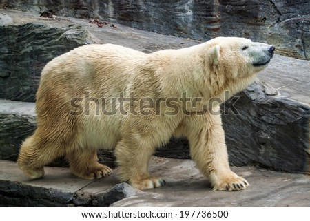 Polar bear (Ursus Maritimus) in Prague zoo