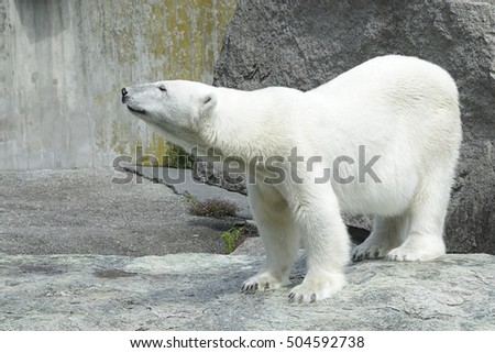 Polar bear (Ursus maritimus) on a rocky ground