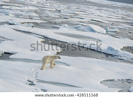 Polar bear walking across a vast expanse of ice floes north of Svalbard in the Arctic Ocean. - stock photo