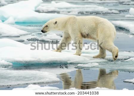 polar bear walking along ice floes in arctic ocean above svalbard norway - stock photo