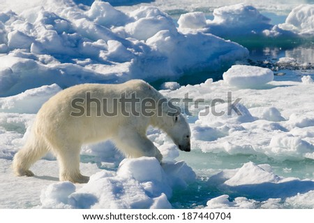 Polar bear walking between ice floats on a large ice pack in the Arctic Circle, Barentsoya, Svalbard, Norway