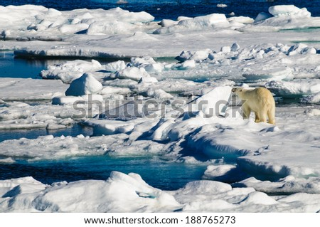 Polar bear walking on a large ice pack in the Arctic Circle, Barentsoya, Svalbard, Norway