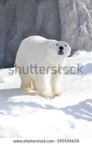 Polar bear walking on snow. - stock photo