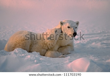Polar bear with affectionate cub.Canadian Artcic - stock photo