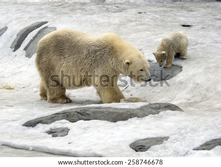 Polar bear with cub. White bear is a typical inhabitant of the Arctic. The polar bear is the largest representative of the entire detachment of prey. In the picture the bear riding the ice hill. - stock photo