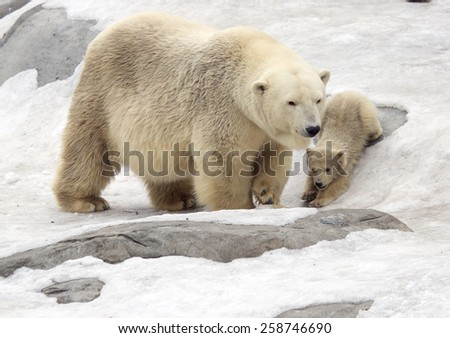 Polar bear with cub. White bear is a typical inhabitant of the Arctic. The polar bear is the largest representative of the entire detachment of prey. In the picture the bear riding the ice hill.