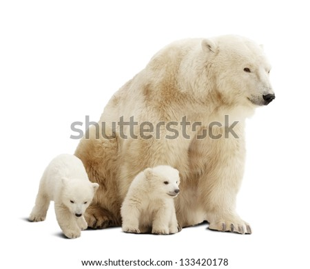 Polar bear with cubs. Isolated over white background with shade