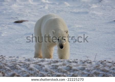 Polar bear with head down means danger - stock photo