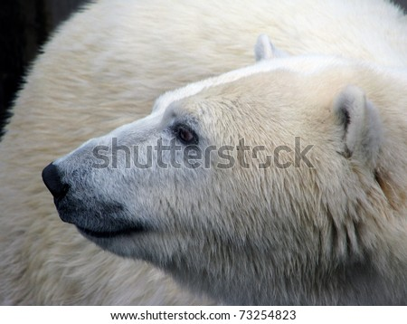 Polar bear with head, turned in profile. - stock photo
