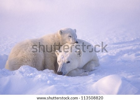 Polar bear with her cub. Canadian Arctic - stock photo