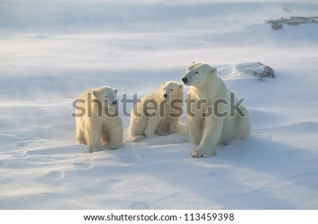 Polar bear with her cubs, blowing snow in strong wind - stock photo
