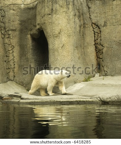Polar Bear wondering on a bank of a small pool