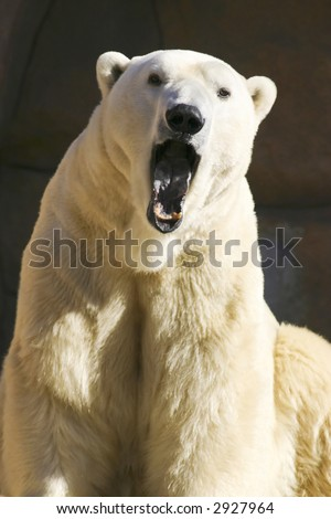 Polar Bear Yawning - stock photo
