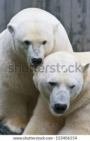 polar bears - stock photo