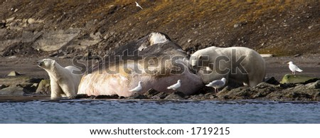 Polar bears feeding on dead sperm whale