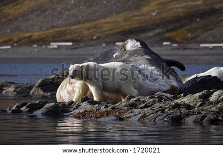 Polar bears feeding on washed up sperm whale