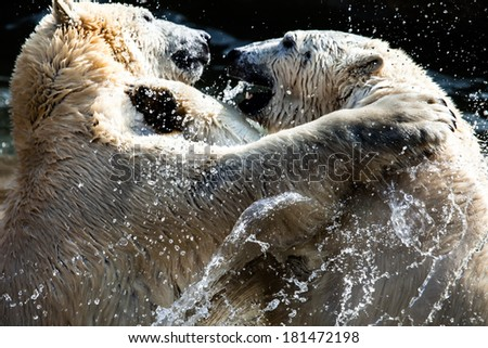 Polar bears fighting - stock photo