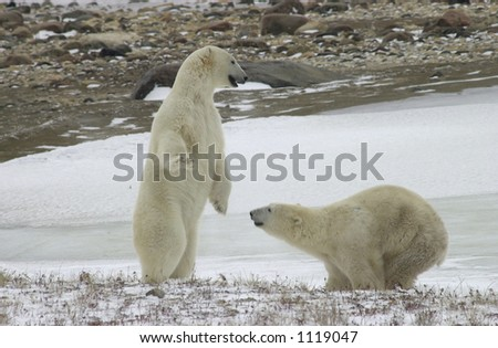 Polar Bears in Churchill Manitoba - stock photo