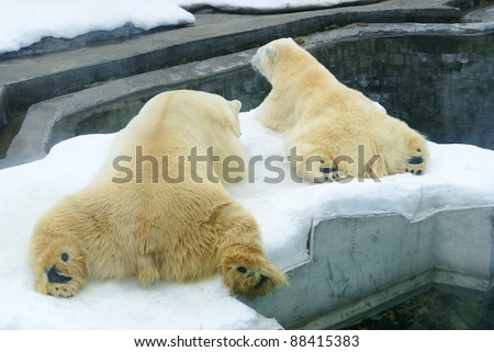 polar  bears  in zoo - stock photo