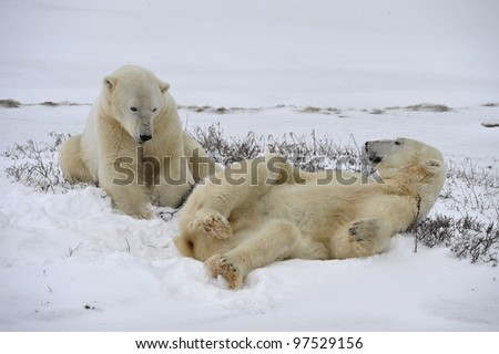 Polar bears playful on the snow. - stock photo