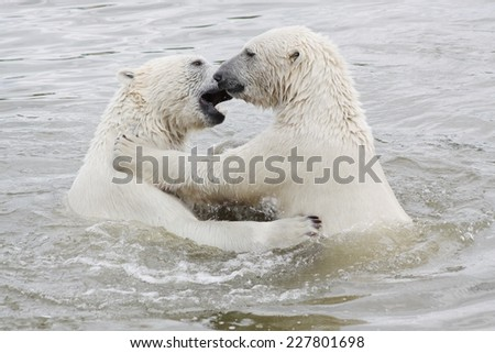 Polar bears playing in water - stock photo