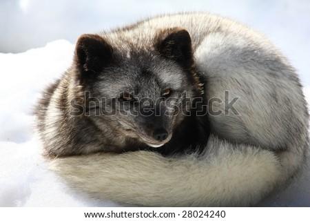 polar fox - stock photo