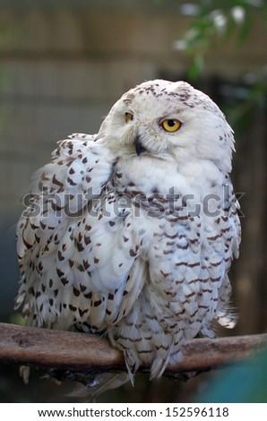 Polar owl - stock photo