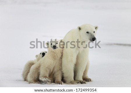 Polar she-bear with cubs. A Polar she-bear with two small bear cubs - stock photo