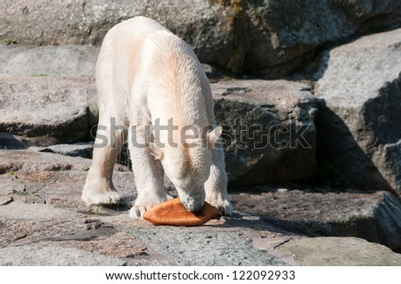 Polar white bear eat bread