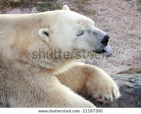 polar white bear in hot weather