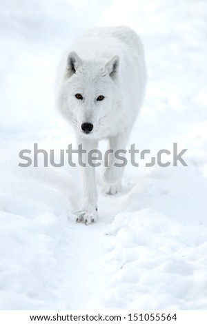 Polar wolf in its natural habitat.