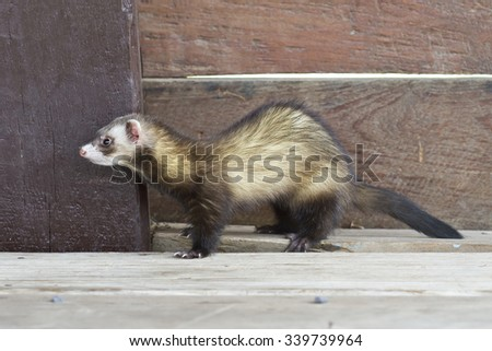 Polecat,Ferret - stock photo