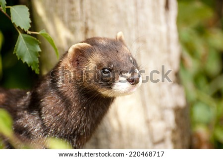 Polecats are solitary and mostly active at night. The domesticated version is the ferret