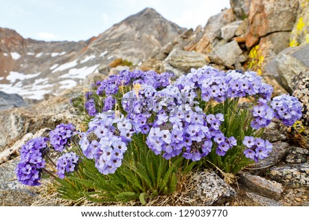 Polemonium Eximium Flower (Jacob's Ladder, Skypilot). Purple wildflower on mountain pass in the Sierra Nevada, California. - stock photo