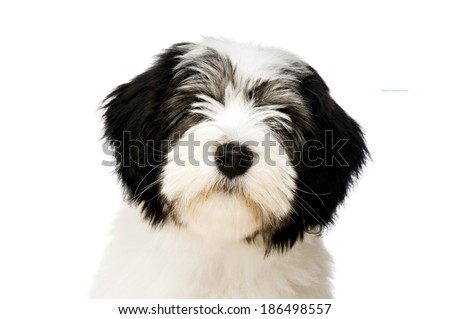 Polish Lowland Sheepdog puppy headshot isolated on a white background