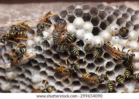 Polistes nimpha, Paper Wasp. Denisovo. Russia - stock photo