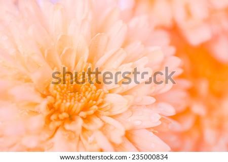 Pollen and petal orange flower with raindrops  - stock photo