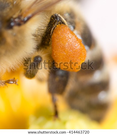 pollen honey bee on the paw. super macro