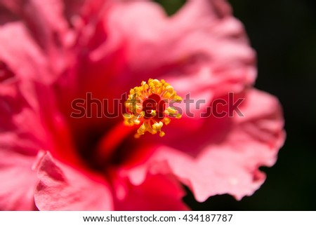 Pollen yellow on flower pink in natural