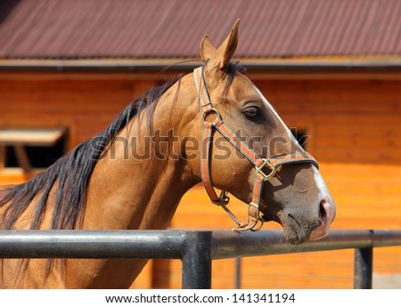 Polo pony in stable - stock photo