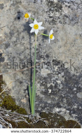 Polyanthus Narcissus - Narcissus tazettaAutumn flowering bulb from Cyprus - stock photo