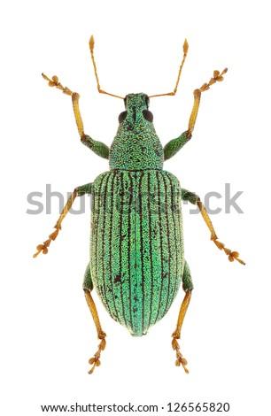 Polydrusus thalassinus curculionidae isolated on white background. - stock photo